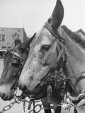 Close Up of Two Mules with Flies Covering Their Faces