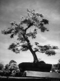 50 Year Old Bonsai Maple Tree on Estate of Collector Keibun Tanaka in Suburb of Tokyo