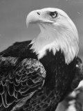 Daniel Mannix's Trained American Bald Eagle Posing For a Picture to Be Used For Cover of Magazine