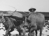Farmer Plowing Rice Fields in South Vietnam with Buffalo
