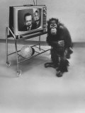 Puzzled Orangutan Standing Next to TV Set Playing the Image of President Richard Nixon