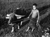 Little Boy Leading an Ox on a Rope