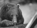 Bear in the Great Smokey Mountain National Park