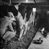 Young Farmer Milking a Row of Cows in a Barn  Kittens and Pan of Milk Nearby