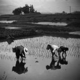 Japanese Working in Rice Paddy