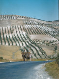 Mule Cart Trotting Along Road Between Granada and Jaen with Olive Groves in Background
