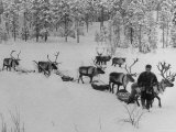Lapp Going to Market Leading His Reindeer Who Pull Small Packed Sleds