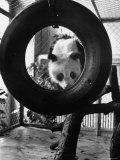 Giant Panda Chi Chi from Red China Playing with Tire