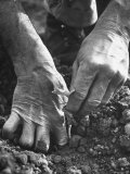 Farmer&#39;s Strong  Work Toughened Hands Planting in the Garden