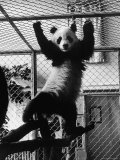 Giant Panda Chi Chi from Red China Exercising in Cage
