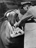 Zookeeper Rubbing a Hippotomus&#39;s Gums at the Brookfield Zoo