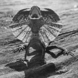 The Frilled Lizard of Australia Opening Its Frill to Ward Off Intruders