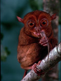 Tarsier Found on Several Islands in Southeast Asia Eating a Gecko