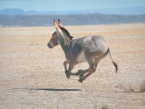 Somali Wild Ass Running Across Parched Soil in Danakil Depression  Near Sardo Village
