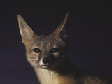 Northern Kit Fox Shown in Captivity  None May Exist in the Wild  Vanishing Species