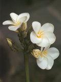 Hawaiian Flora: Plumeria Blossoms