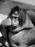 Sandra the Orangutan with Cheek Resting on Hand and Thoughtful Expression  at the Bronx Zoo