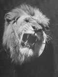 Mounted Head of the MGM Movie Studio Trademark