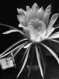 View of a Night Blooming Cereus Blooming at 12:00 AM
