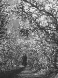 Woman Walking Among Pear Trees in Full Bloom