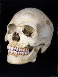Modern Homo Sapiens Skull