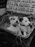 Puppies Sitting in Basket at Club Row Pet Market