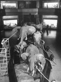 Museum Attendants Cleaning Elephants in the New York Museum Exhibits