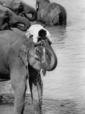 Sharing a Trunkful of Water with His Elephant  a Mahout Refreshes Himself During a Working Day