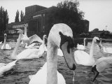 Swans Swimming on Avon River in Front of Stratford Theatre of the Royal Shakespeare Company