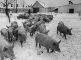 Pigs Being Herded to the Weighing Scales on a State Farm
