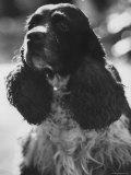 Richard M Nixon's Dog  Checkers