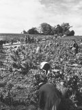 Workers During the Harvest Season Picking Grapes by Hand in the Field For the Wine
