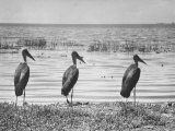 Three Storks Standing on Shore of Lake Edward in Albert National Park