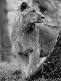 Lion Standing Erect Beside a Large Tree While Looking to the Rear