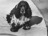 Richard Nixon's Famous Spaniel  Checkers