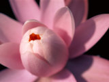 A Close View of a Pink Fragrant Water Lily