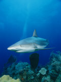 A Caribbean Reef Shark Swims over a Coral Reef in the Bahamas