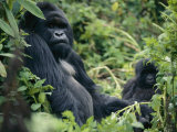 Adult Male Mountain Gorilla