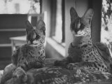 Pair of Servals  Pets of a Big Tobacco Farm Owner