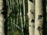 Close View of Several Aspen Tree Trunks