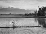 Man Working in Rice Paddies