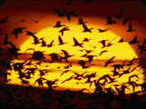 A View of the Sun with Silhouetted Snow Geese