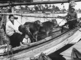 Two and Boys and an Older Man Riding a Boat Carrying Three Small Cattle Across the Water