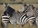A Herd of Plains Zebras in Kenyas Masai Mara National Reserve