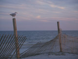 A Seagull Pauses Momentarily on a Wooden Fence Used for Dune Control