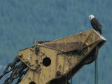 A Northern American Bald Eagle Sits Atop a Construction Vehicles Highest Point