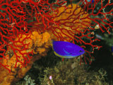 A Blue and Gold Damselfish against a Red Gorgonian Coral