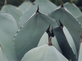 A Close View of Agave Leaves