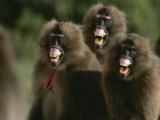 Three Female Geladas  Theropithecus Gelada  Bare Their Teeth