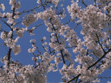 View of Cherry Blossoms in Full Bloom
